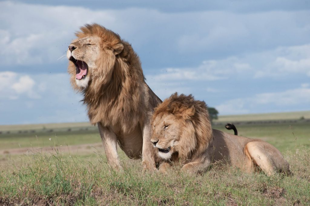 safari con leones